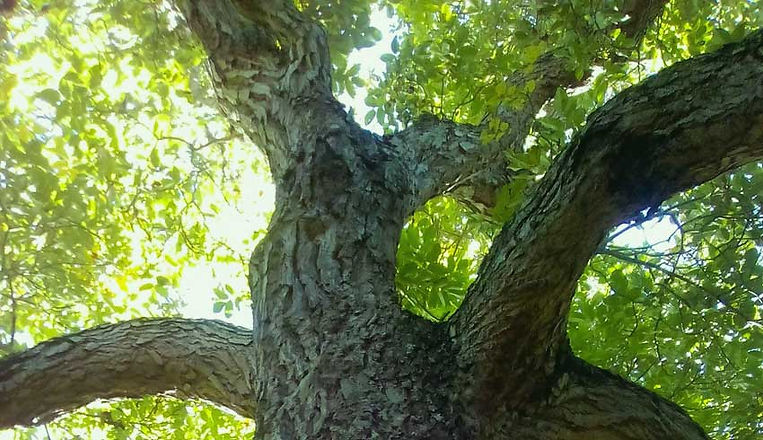 Walnut-tree-branches.jpg