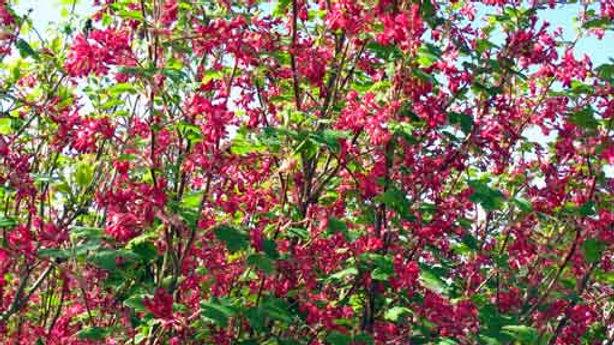 FLOWERING CURRANT Essence - BREATHE