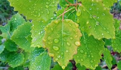 Aspen-leaves-850.jpg