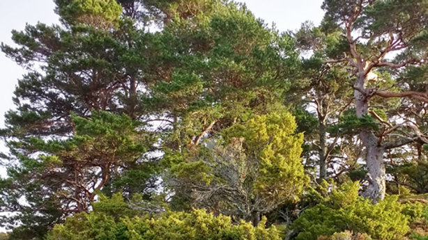 Ancient Caledonian Forest PURIFYING Spray