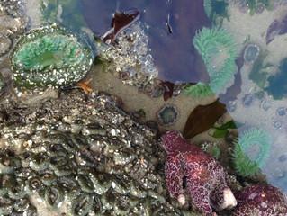 Virus Suspected in Sea Star Die-Offs