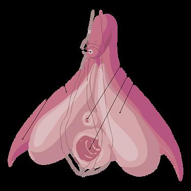 600px-Clitoris_Anatomy.svg.png