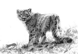 Snow Leopard Study