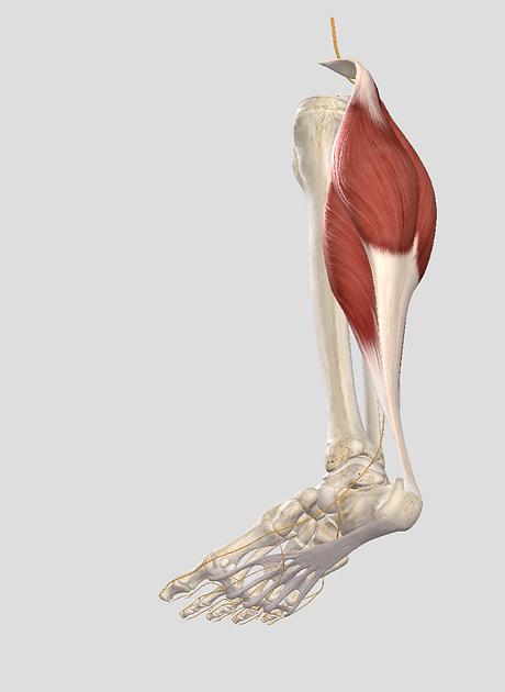 tendon d'Achille
