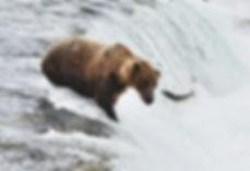brown bear at Brooks Falls, Katmai National Park, eyes leaping salmon
