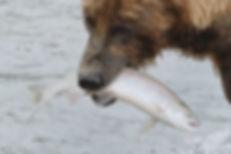 brown bear carrying salmon in Katmai National Park