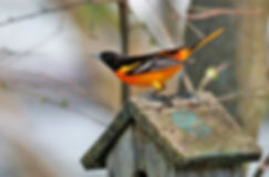 Baltimore Oriole (photo by B Crew)