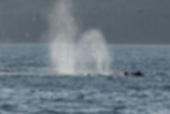 Humpback Whale Spouts Alaska