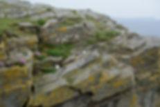 Petrels Shetland Islands Scotland