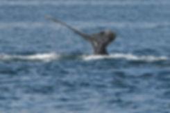 Humpback Whale Dives n Alaska