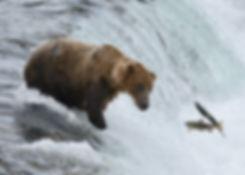 brown bear eyes two salmon leaping at Brooks Falls, Katmai National Park