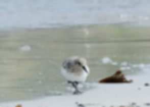 Shetland Islands Sanderling