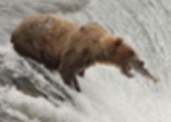 brown bear catching leaping salmon, Brooks Falls, Katmai National Park