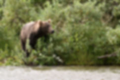 Brown Bear Pausing On Shore During Salmon Hunt