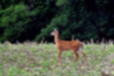 White-Tailed Deer Bureau County IL