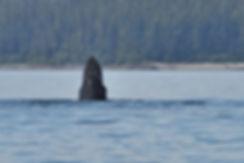 Spout Holes  Humpback  Whale