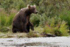 Brown Bear Looking In Alaska River For Salmon