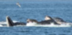 Humpback Whale Pod Feeding In Alaska