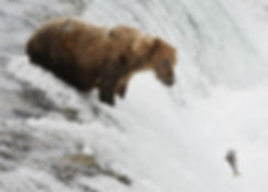 brown bear in Katmai National Park eyes spinning airborne salmon