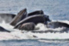 Humpback Whale Pod Bubble Feeding