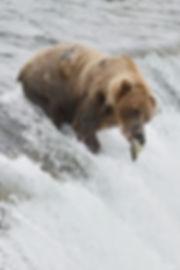 Brown Catching Salmon Brooks Falls Katmai National Park