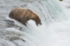 brown bear captures salmon in mouth Brooks Falls, Katmai National Park