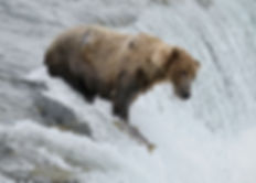 salmon passes brown bear at Brooks Falls, Katmai National Park