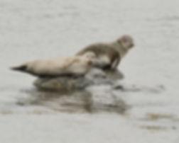 Grey ad Common Seals Shetland Islands