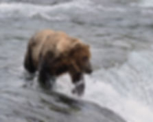 brown bear at the edge of Brooks Falls, Katmai National Park