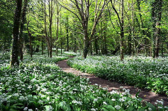 Wild Garlic at Stackpole Woods (Limited Edition)