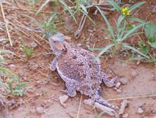 Horned Lizard (harmless)