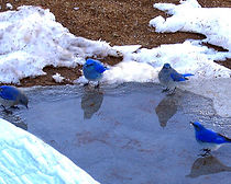 Bluebirds Jan07.jpg