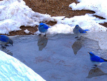 Winter Bluebirds