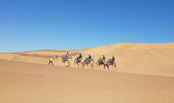 Camels in Namibia