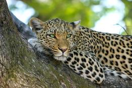 leopard-515509_1920.jpg