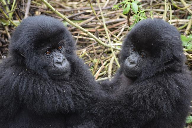 mountain-gorilla-3560377_1920.jpg