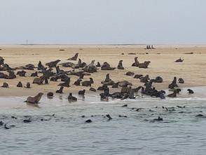 Seals near Walvis Bay