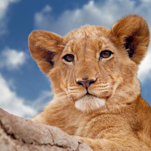 animal-carnivore-cub-624033[1].jpg