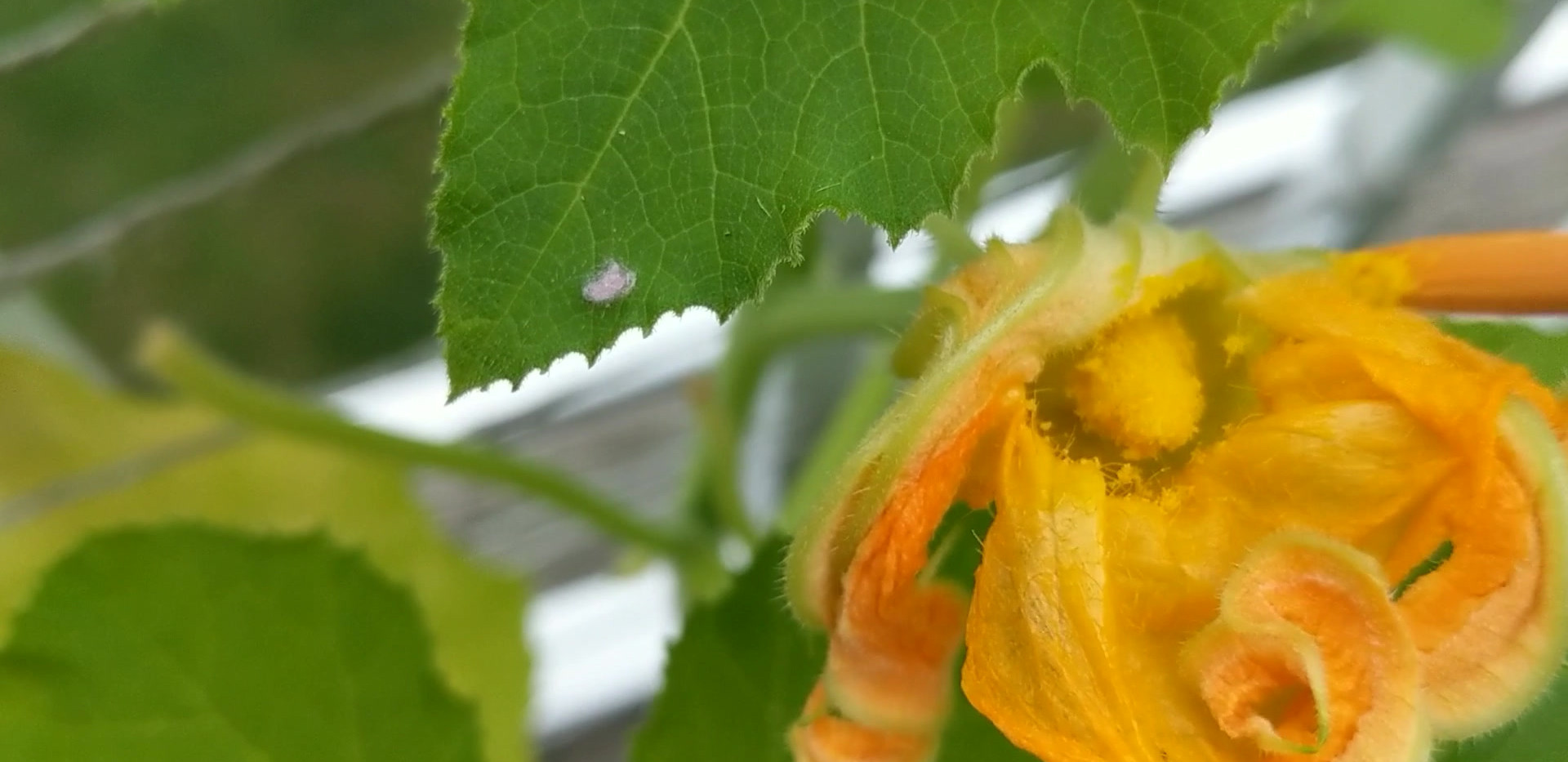 Hand Pollinating