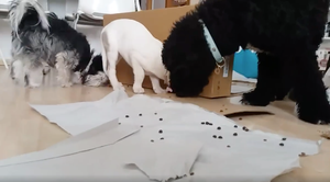 A small grey dog, Spanish Mastiff puppy and a black Spanish Water Dog are searching for food on the ground amongst papers and cardboard boxes