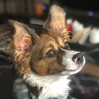 A cute brown and white Papillon cross ¦ English & Spanish dog training in Madrid and online