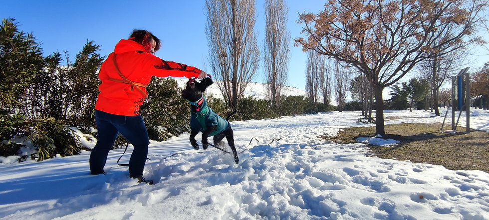 a woman playing tug with a black Spanish Water Dog in the snow. She's wearing a bright orange jacket and the dog is wearing a teal harness and sweater ¦ English & Spanish dog training in Madrid and online