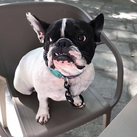 black and white French bulldog sitting on a chair ¦ English & Spanish dog training in Madrid and online