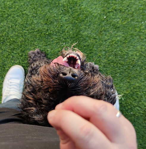The camera looks down at a black Spanish Water Dog in middle position ¦ English & Spanish dog training in Madrid and online