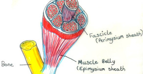 Muscle structure, Muscle Fibres and Muscle Contraction.