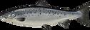 atlantic-salmon.png