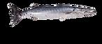 394-3947475_barracuda-barracuda-fish-tra