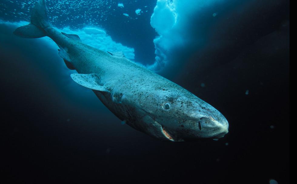 Deep Sea Gigantism