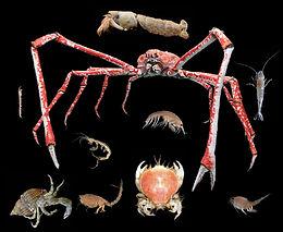 Crustaceans of the Deep