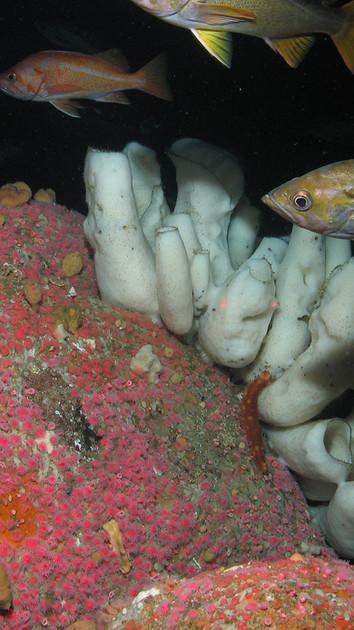 Coming Soon: Life at Deep Sea Coral Reefs